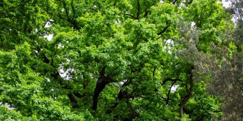 Dąb – pomnik przyrody przy Podkowy 85