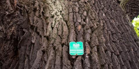 Dąb – pomnik przyrody przy Zagórzańskiej 33